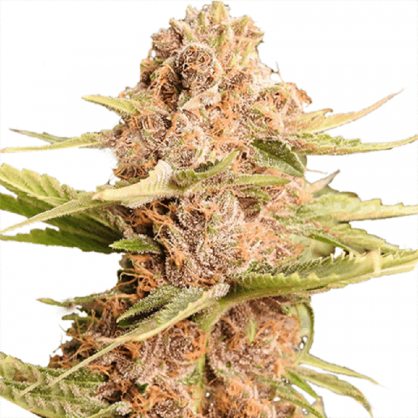 Buy Girl Scout Cookies Extreme (Feminized)