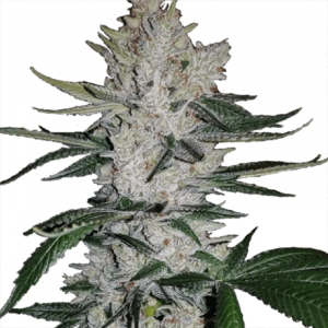 Buy Gorilla Glue by ILGM (Feminized) Online
