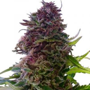 Order Grand Daddy Purple (Feminized)