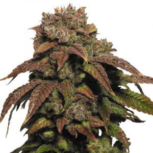 Buy Green Crack (Feminized)