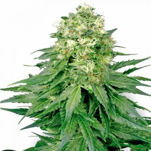 Buy White Widow (Feminized) Online